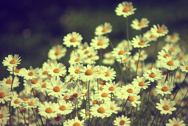 beautiful-chamomile-dream-flowers-girl-Favim.com-449199-1